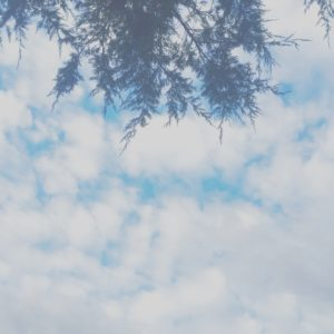 Cedars of Blue Skies